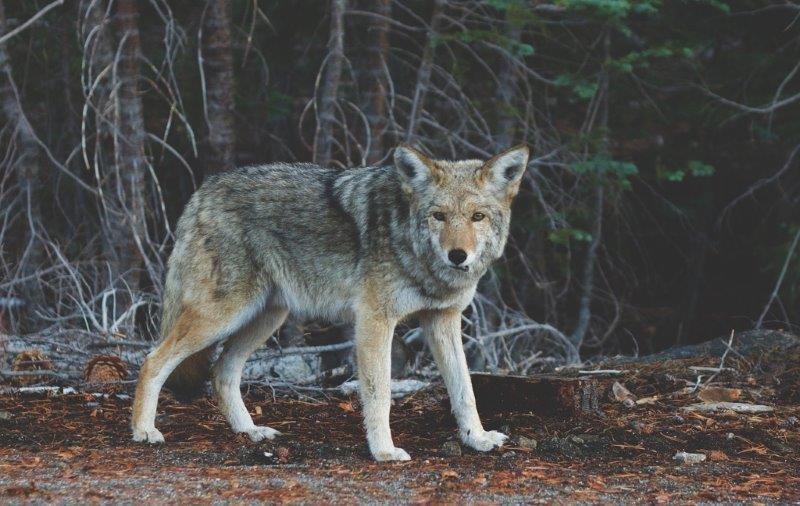 wolf-690102_1280 (2)