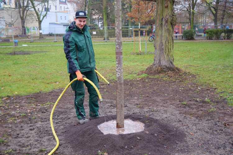 Lukas Ifland vom Gartenservice Leipzig wässert seinen neuen Schützling in der Parkstraße ordentlich ein. Drei Jahre lang werden die Neuanpflanzungen vom Seebenischer Betrieb gepflegt.