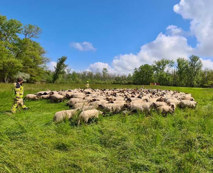 Eine Spezialeinheit ausgebildeter Schafschützen der Freiwilligen Feuerwehr half bei der Rückführung der geflüchteten Schafe.